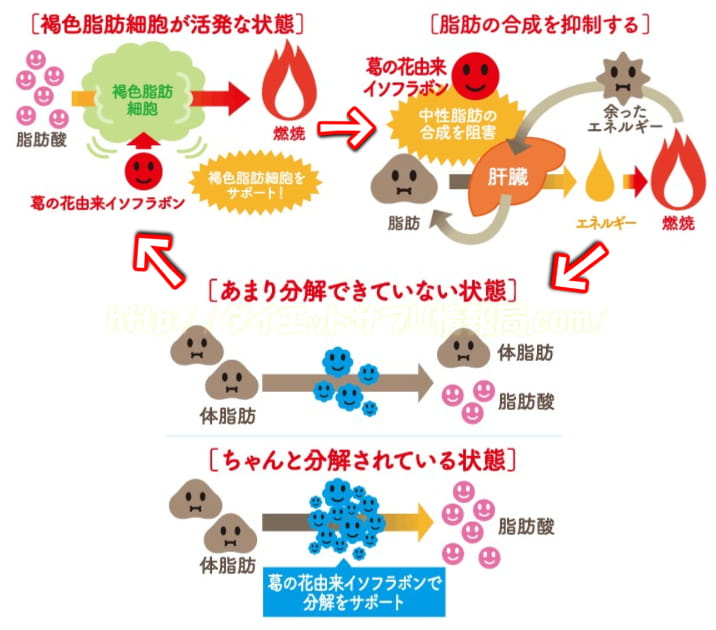 脂肪の合成・分解・燃焼サイクル
